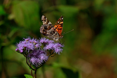 American Lady on Mistflower Black Swallowtail on Downy Lobelia Hydrocotyle prolifera- Whorled Marsh Pennywort