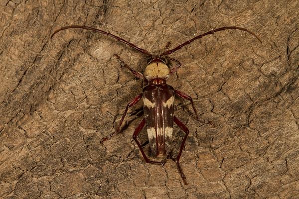 long-horned beetle (Cerambycidae). Tucson, Pima Co., Arizona USA