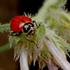 convergent ladybird, <i>Hippodamia convergens</i> (Coccinellidae). Kitt Peak Observatory, Pima Co., Arizona USA