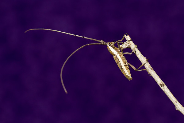 <i>Neoptychodes trilineatus</i> (Cerambycidae). Peppersauce Canyon, Pinal Co., Arizona USA
