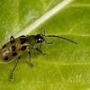 spotted cucumber beetle cleaning antenna, <i>Diabrotica undecimpunctata</i> (Chrysomelidae). Tucson, Pima Co.,  Arizona USA