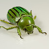 jewel scarab, <i>Chrysina (Plusiotis) gloriosa</i> (Scarabaeidae). Peppersauce Canyon, Pinal Co., Arizona USA