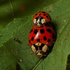 asian multicolored ladybirds mating, Harmonia axyridis (Coccinellidae). Spartanburg, South Carolina USA