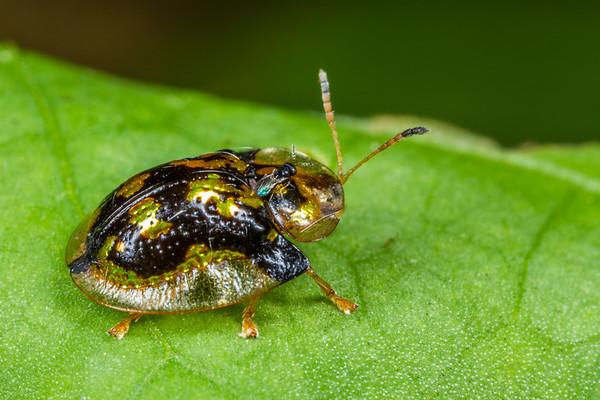 mottled tortoise beetle with Chalcid parasitoid, Deloyala guttata (Chrysomelidae). Spartanburg, South Carolina USA