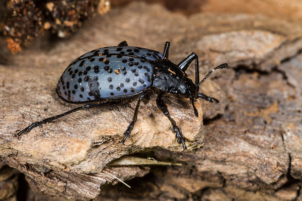 pleasing fungus beetle, Gibbifer californicus (Erotylidae). Mt. Lemon, Pima Co., Arizona USA