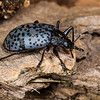 pleasing fungus beetle, <i>Gibbifer californicus</i> (Erotylidae). Mt. Lemon, Pima Co., Arizona USA