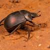 plum dung beetle, <i>Anachalcos convexus</i> (Scarabaeidae). Sophienhof, Kunene Namibia