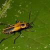 Pennsylnania leather wing, <i>Chauliognathus pennsylvanicus</i> (Cantharidae). Spartanburg, South Carolina USA