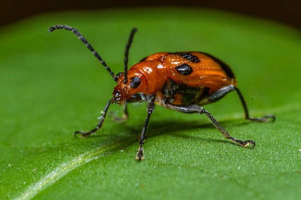6 spotted shining leaf beetle, Neolema sexpunctata (Chrysomelidae). Spartanburg, South Carolina USA