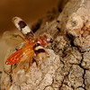 ready for liftoff, checkered beetle (Cleridae). Tucson, Pima Co., Arizona USA