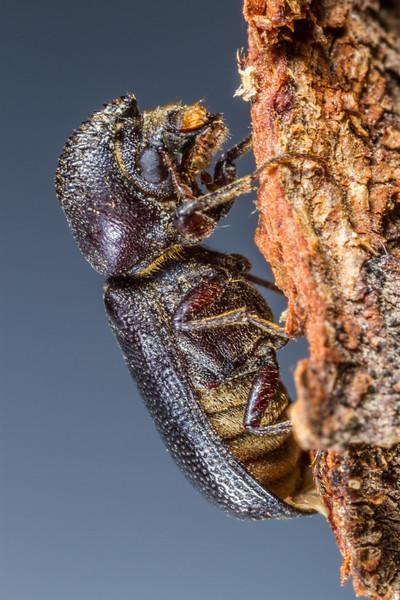 horned powderpost beetle, Apatides fortis (Bostrichidae). Tucson, Arizona USA