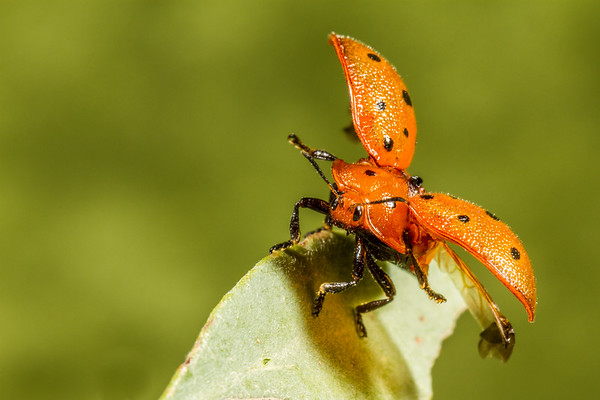taking off. tortoise beetle, <i>Chelymorpha phytophagica</i> (Chrysomelidae, Cassidinae). Reddington Pass, Tucson, Pima Co., Arizona USA