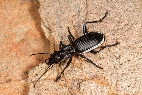 oogpister tyrant ground beetle, <i>Anthia cinctipennis</i> (Carabidae). Erongo Namibia
