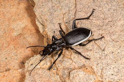 oogpister tyrant ground beetle, Anthia cinctipennis (Carabidae). Erongo Namibia