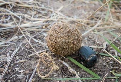 flattened giant dung beetle, Pachylomerus femoralis (Scarabaeidae) with elephant dung. Khaudum N.P., Kavango Namibia
