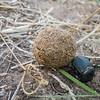 flattened giant dung beetle, <i>Pachylomerus femoralis</i> (Scarabaeidae) with elephant dung. Khaudum N.P., Kavango Namibia