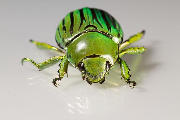 jewel scarab, <i>Chrysina (Plusiotis) gloriosa</i> (Scarabaeidae). Peppersauce Canyon, Pinal Co., Arizona USA