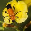 <i>Chauliognathus profundus</i> (Cantharidae). Peppersauce Canyon, Pinal Co., Arizona USA