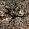mesquite girdler, <i>Oncideres rhodostica</i> (Cerambycidae). Tucson, Pima Co., Arizona USA