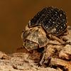 hide beetle, <i>Omorgus carinatus</i> (Trogidae). Tucson, Pima Co., Arizona USA