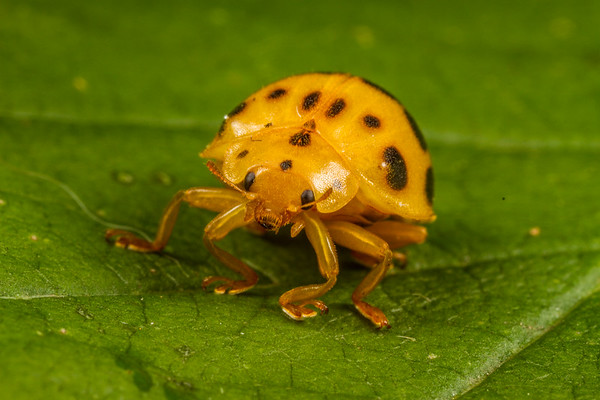 squash ladybird, Epilachna borealis (Coccinellidae). Spartanburg, South Carolina USA
