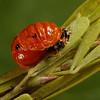 asian multicolored ladybird pupa, <i>Harmonia axyridis</i> (Coccinellidae). Spartanburg, South Carolina USA