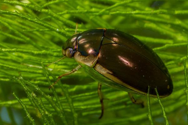 water scavenger beetle, <i>Tropisternus lateralis</i> (Hydrophilidae) with air bubble gill. Cattle tank, King Anvil Ranch, Santa Cruz Co., Arizona USA