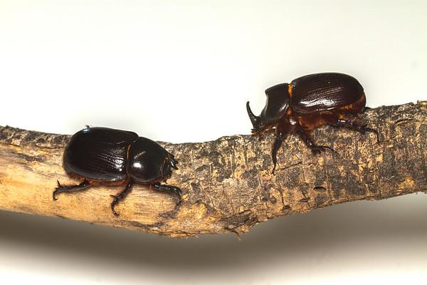 female and male rhinocerus beetles, <i>Xylorcytes thestalus</i> (Scarabaeidae). Peppersauce Canyon, Pinal Co., Arizona USA