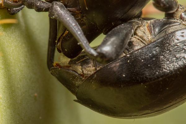 mating longhorn cactus beetles, <i>Moneilema gigas</i> (Cerambycidae). Tucson, Pima Co., Arizona USA