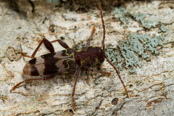 rustic borer, <i>Xylotrechus colonus</i> (Cerambycidae). Spartanburg, South Carolina USA