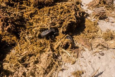 flattened giant dung beetles, Pachylomerus femoralis (Scarabaeidae) with elephant dung. Khaudum N.P., Kavango Namibia