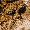 flattened giant dung beetles, <i>Pachylomerus femoralis</i> (Scarabaeidae) with elephant dung. Khaudum N.P., Kavango Namibia