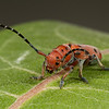 red milkweed beetle, <i>Tetraopes tetrophthalmus</i> (Cerambycidae) on milkweed. Perry, Box Elder Co., Utah USA