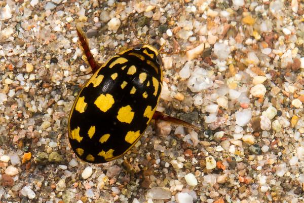 predaceous diving beetle, <i>Thermonectus maramoratus</i> (Dytiscidae). cattle tank, Pajarita Mountains, Santa Cruz Co., Arizona USA