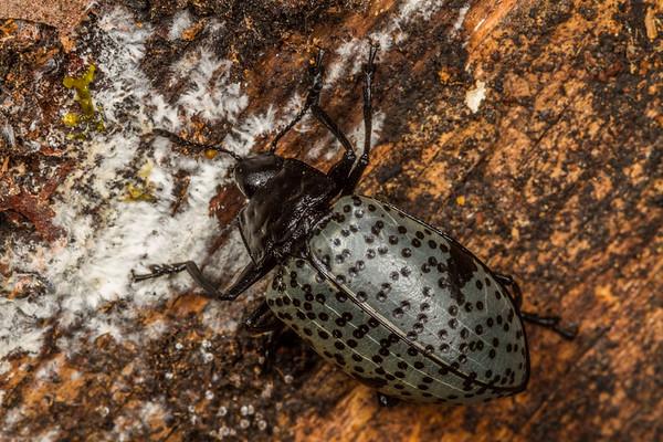 pleasing fungus beetle , Gibbifer californicus (Erotylidae). Mt. Lemon, Pima Co., Arizona USA