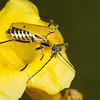 <i>Chauliognathus misellus</i> (Cantharidae). Peppersauce Canyon, Pinal Co., Arizona USA