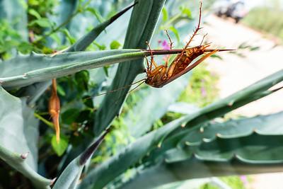 Self-impaled American Cockroach on agave, Periplaneta americana (Blattidae). Tucson, Arizona USA
