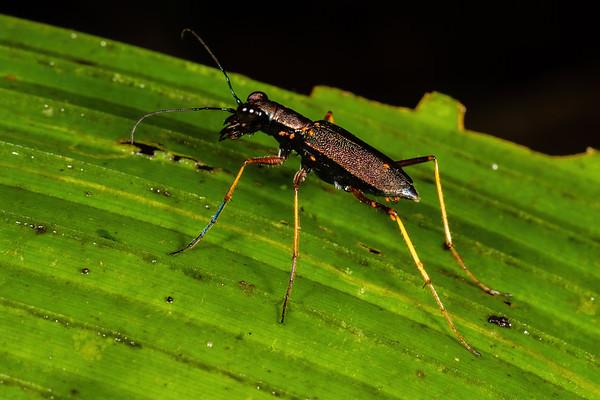 tiger beetle (Cicindelidae). Colibri trail, Shiripuno, Orellana Ecuador