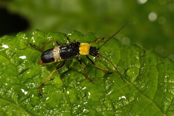 Chauliognathus sp. (Cantharidae). Yanayacu San Isidro Stream Trail, Cosanga, Napo Ecuador