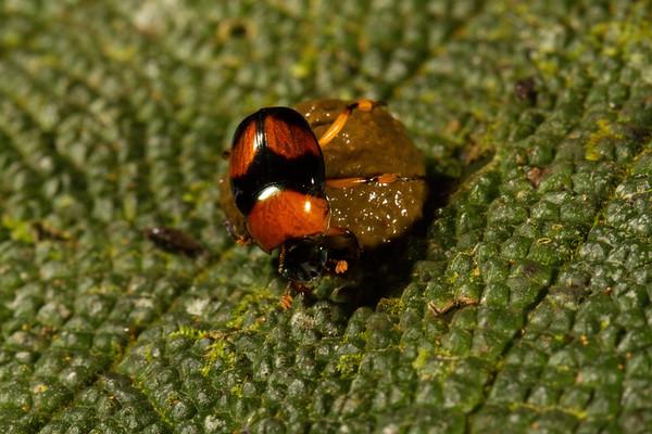 dung beetle, Canthon sp. (Scarabaeidae). Yanayacu San Isidro Stream Trail, Cosanga, Napo Ecuador