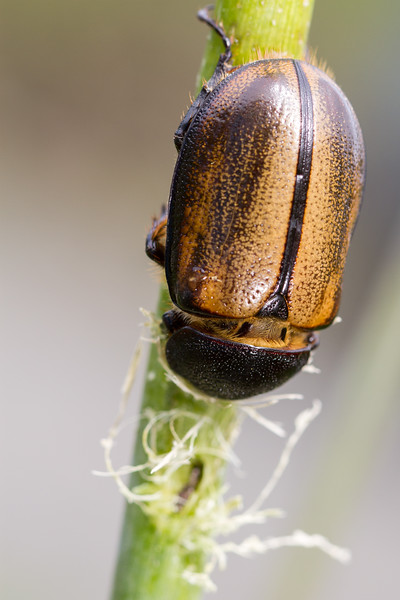 female Dynastine beetle, Golofa sp.  (Scarabaeidae).  Reserva Geobotanica Pululahua, Pichincha Ecuador