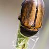 female Dynastine beetle, <i>Golofa sp.</i>  (Scarabaeidae).  Reserva Geobotanica Pululahua, Pichincha Ecuador
