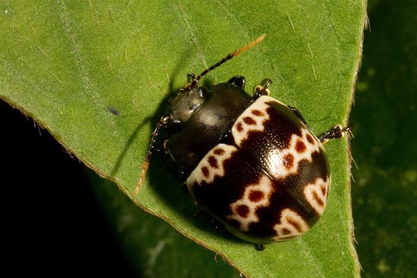 pleasing fungus beetle (Erotylidae). Gareno Amazon, Napo Ecuador