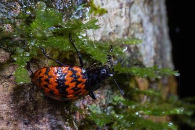 fungus beetle (Erotylidae). Shiripuno, Orellana Ecuador