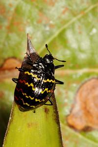zigzag fungus beetle, Erotylus incomparabilis (Erotylidae). Cosanga, Napo, Ecuador
