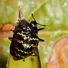 zigzag fungus beetle, <i>Erotylus incomparabilis</i> (Erotylidae). Cosanga, Napo, Ecuador
