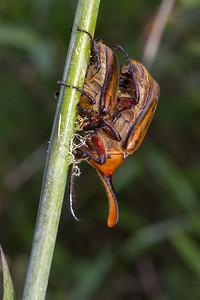 male and female Dynastine beetle, Golofa sp. (Scarabaeidae). Geobotanica Pululahua, Pichincha Ecuador