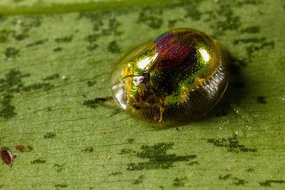 tortoise beetle (Chrysomelidae). Misterioso trail, Shiripuno, Orellana Ecuador