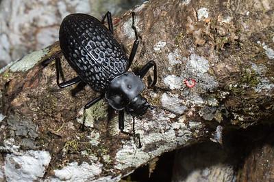 large teneb (Tenebrionidae). Narupa, Napo Ecuador