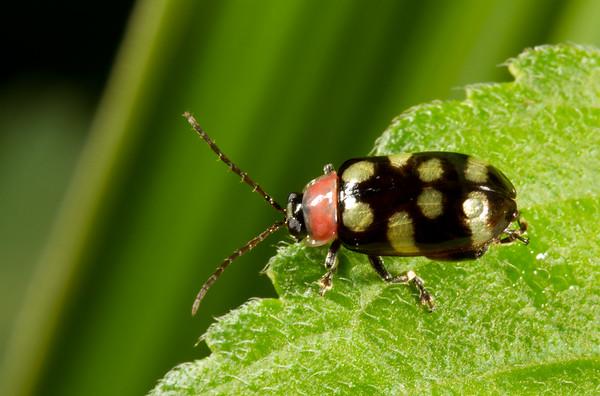 flea beetle, Oedioychus sp.  (Chrysomelidae). Gareno Amazon, Napo Ecuador